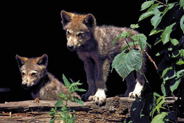 Der mit dem Wolf heult