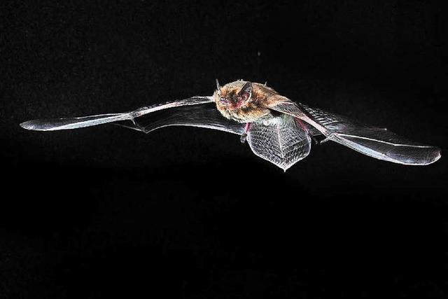 Wie man Flugrouten von Fledermäusen erforscht