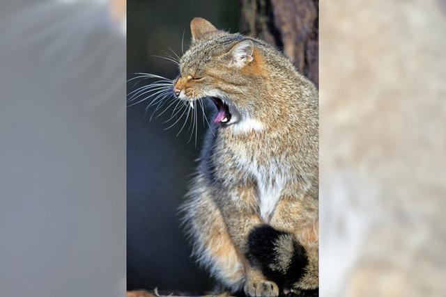 Wildkatze breitet sich in Deutschland wieder aus
