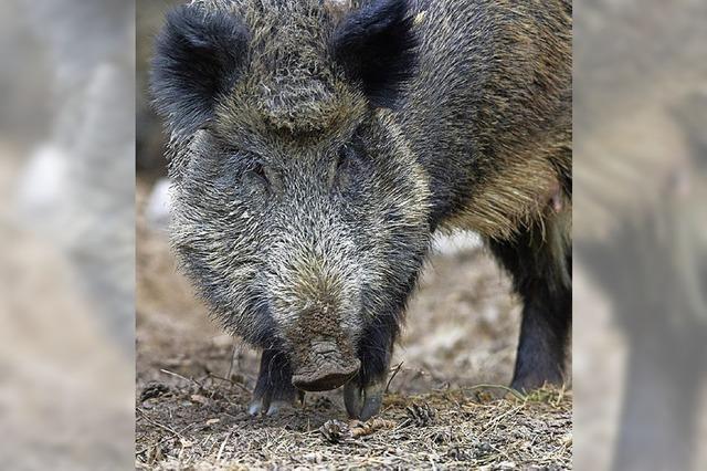 Jäger nehmen Wildschweine ins Visier