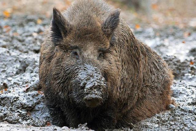 Vier Wildschweine bei schwerem Unfall im Südwesten getötet