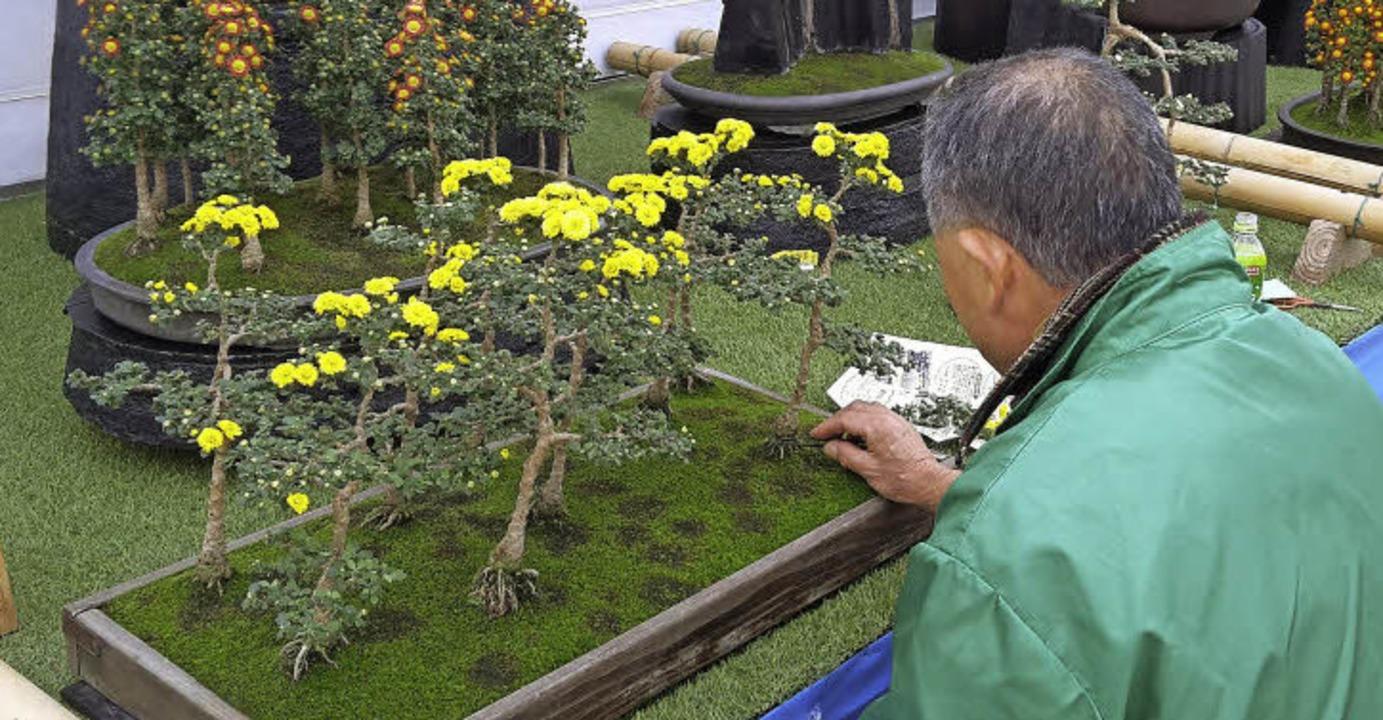 Chrysanthemen gibt's auch im Bonsaiformat.  | Foto: Stadt