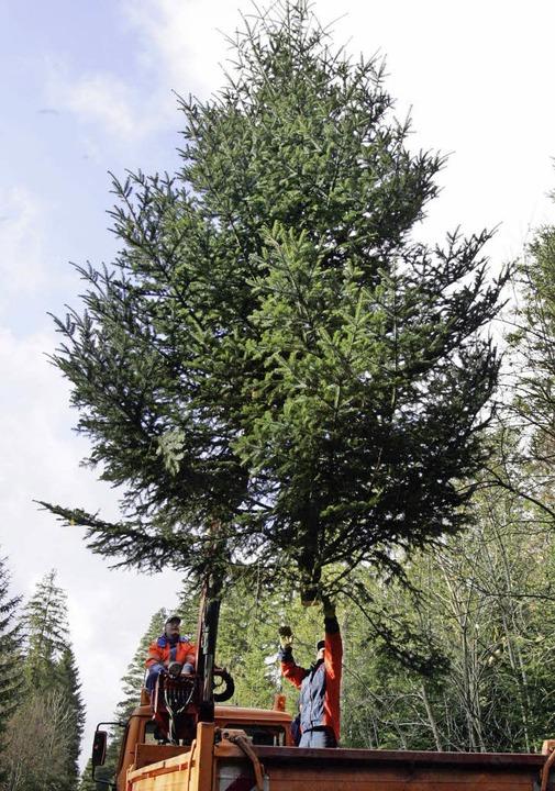 Taugt eben nicht nur zum Weihnachtsbaum: die Weißtanne   | Foto: dpa