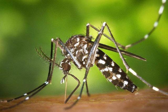 Mehr Tigermücken in Freiburg als erwartet