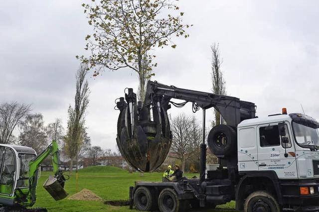 42 Bäume müssen der neuen Tram weichen