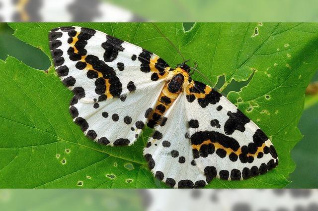 Schmetterling des Jahres 2016