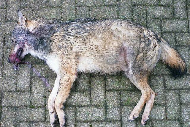 Toter Wolf auf der A8 bei Merklingen entdeckt