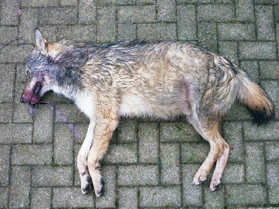 Autofahrer haben einen toten Wolf auf der A 8 bei Merklingen entdeckt.  | Foto: MLR