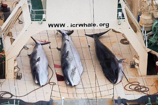 Japan nimmt Walfang in der Antarktis wieder auf