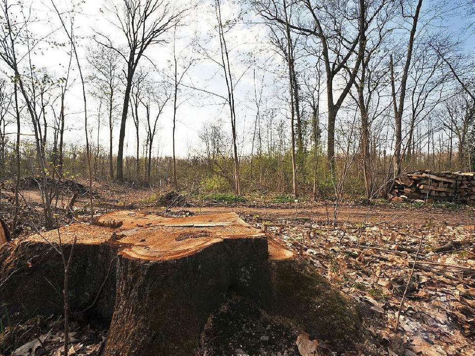 Abholzungsarbeiten im Mooswald 2009. F...ohngebiet gefällt werden. (Archivbild)  | Foto: Michael Bamberger