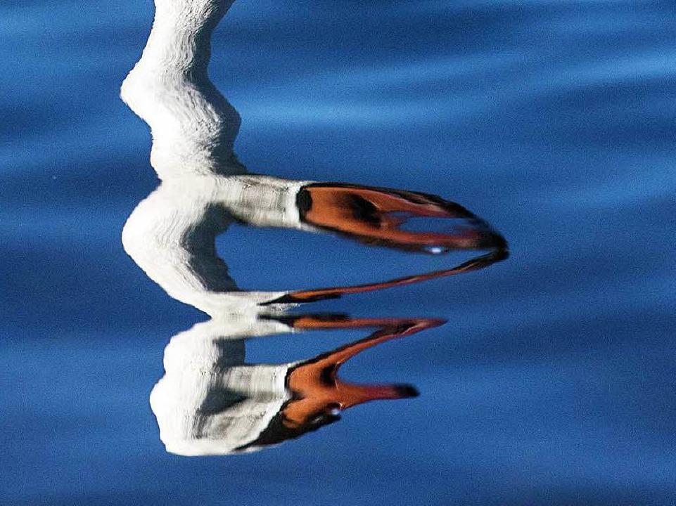 Ein Schwan spiegelt sich im Rhein nahe... Natur aus den Fugen zu geraten droht.  | Foto: dpa