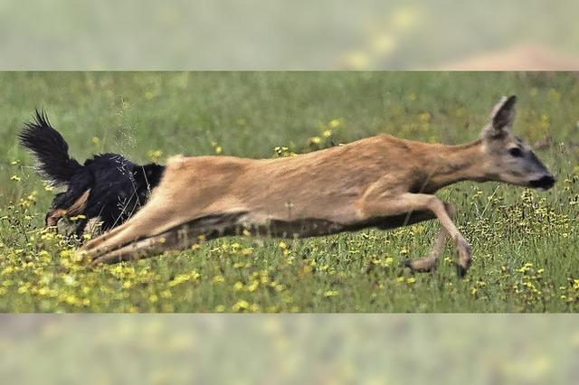 Auch im liebsten Hund steckt ein Jäger
