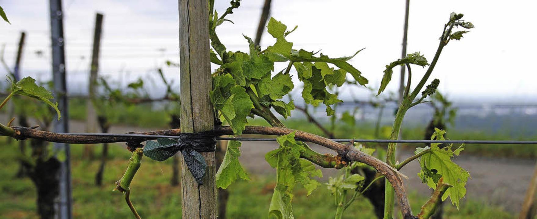 Wegen Hagelschäden und der großen Hitz...tenheimer Winzer kein einfaches Jahr.   | Foto: Frietsch