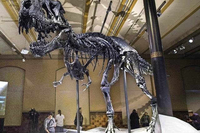 Naturkundemuseum zeigt Skelett eines Tyrannosaurus
