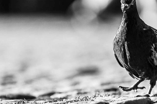 Efringen-Kirchen verbieten das Taubenfüttern auf Privatgelände