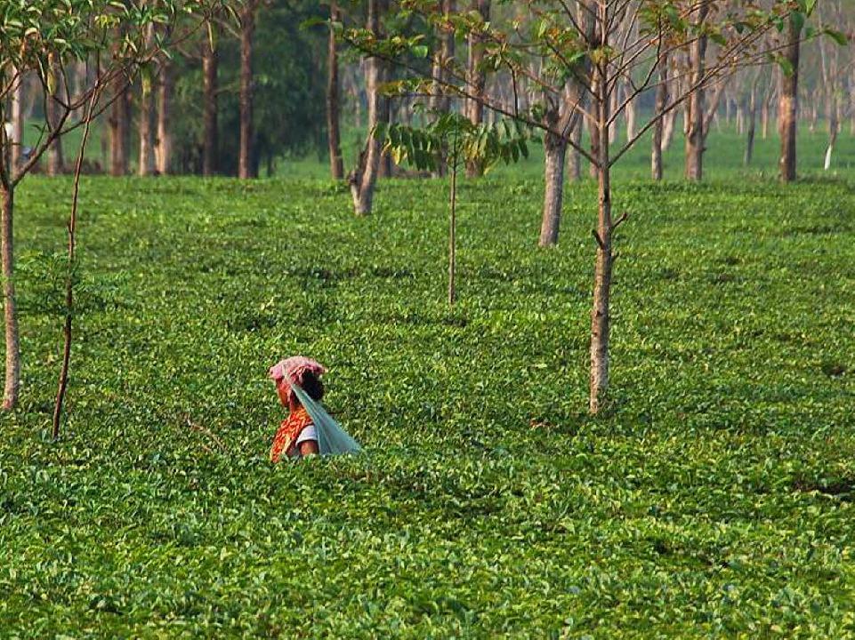 Arbeiterin im Teegarten   | Foto: Andrea Steinhart