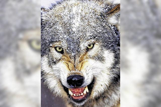 Der Wolf kann kommen
