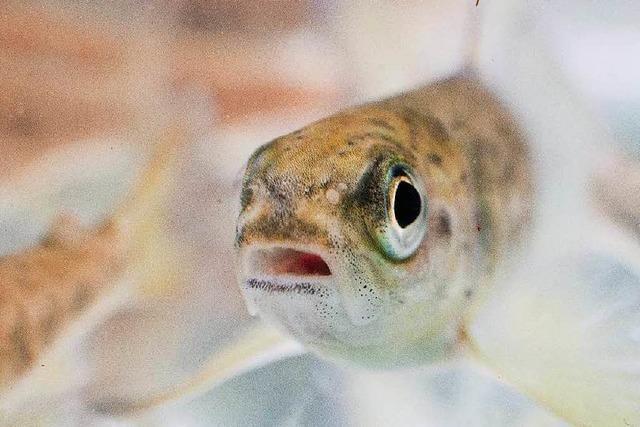 Warum gibt es kaum noch wilde Lachse?