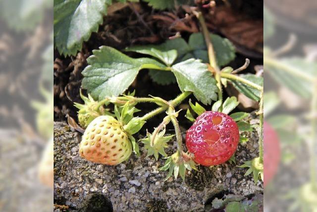 Erdbeeren zur Winterzeit