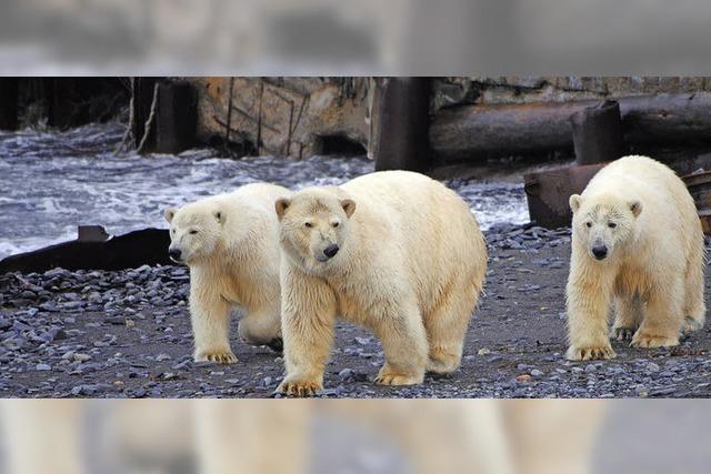 Eisbärin mit Sprengstoff getötet