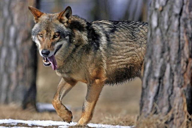 Der Wolf steht vor der Rückkehr nach Baden-Württemberg