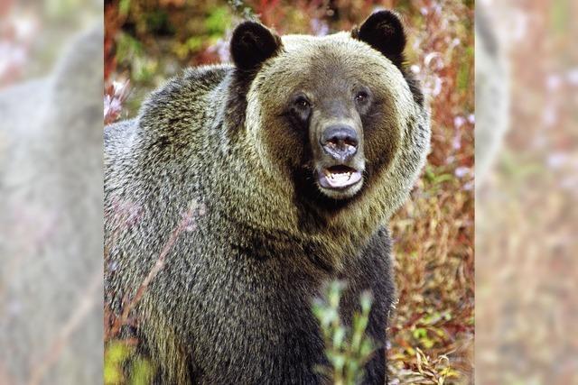 Es gibt mehr Grizzlys - und deswegen auch mehr Chancen, ihnen zu begegnen