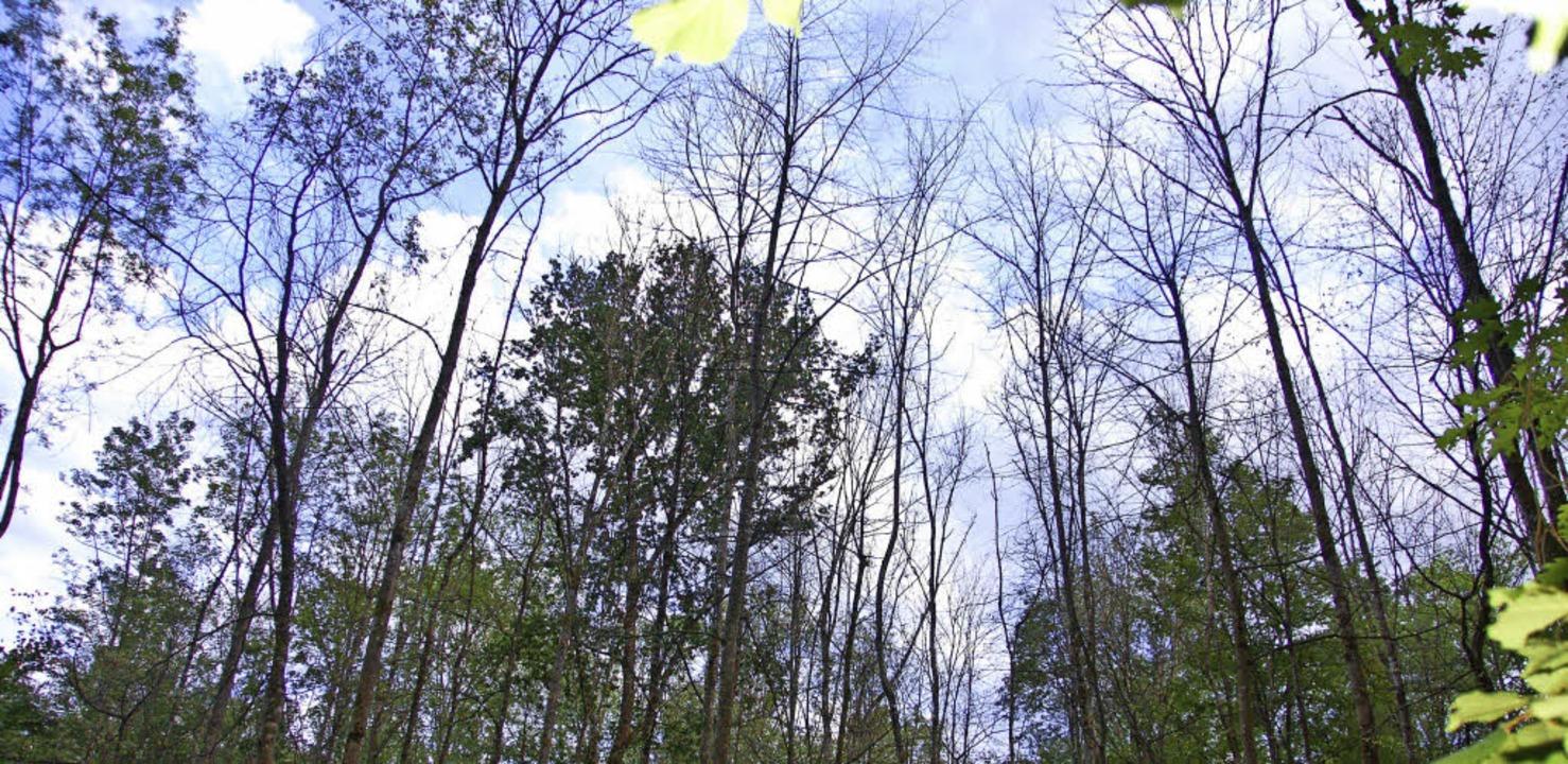 Dünne Wipfel: Das Eschensterben im Vörstetter Wald schreitet schnell voran.   | Foto: Pia Grättinger