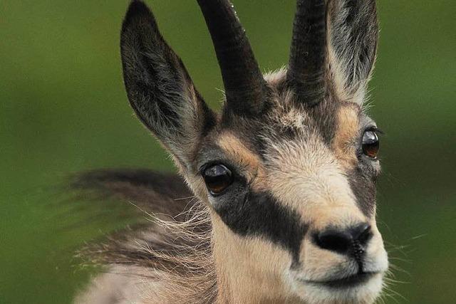 Gämsen im Schwarzwald – erst Bedrohung, jetzt Bereicherung