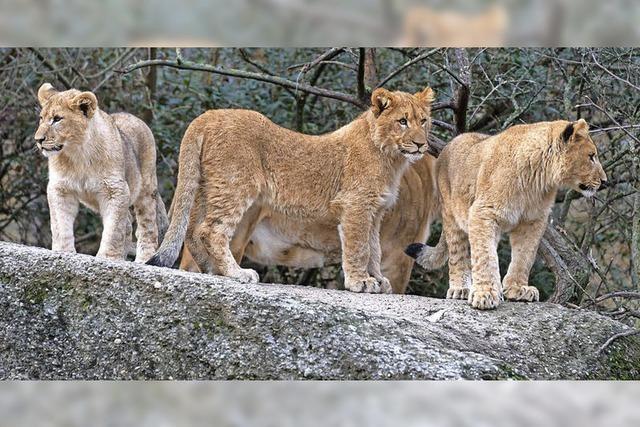 Drei kleine Könige der Tiere