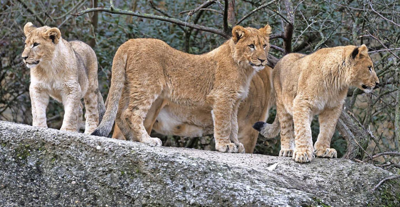Die drei jungen Löwen im Basler Zoo sind in Hochform.   | Foto: Torben Weber