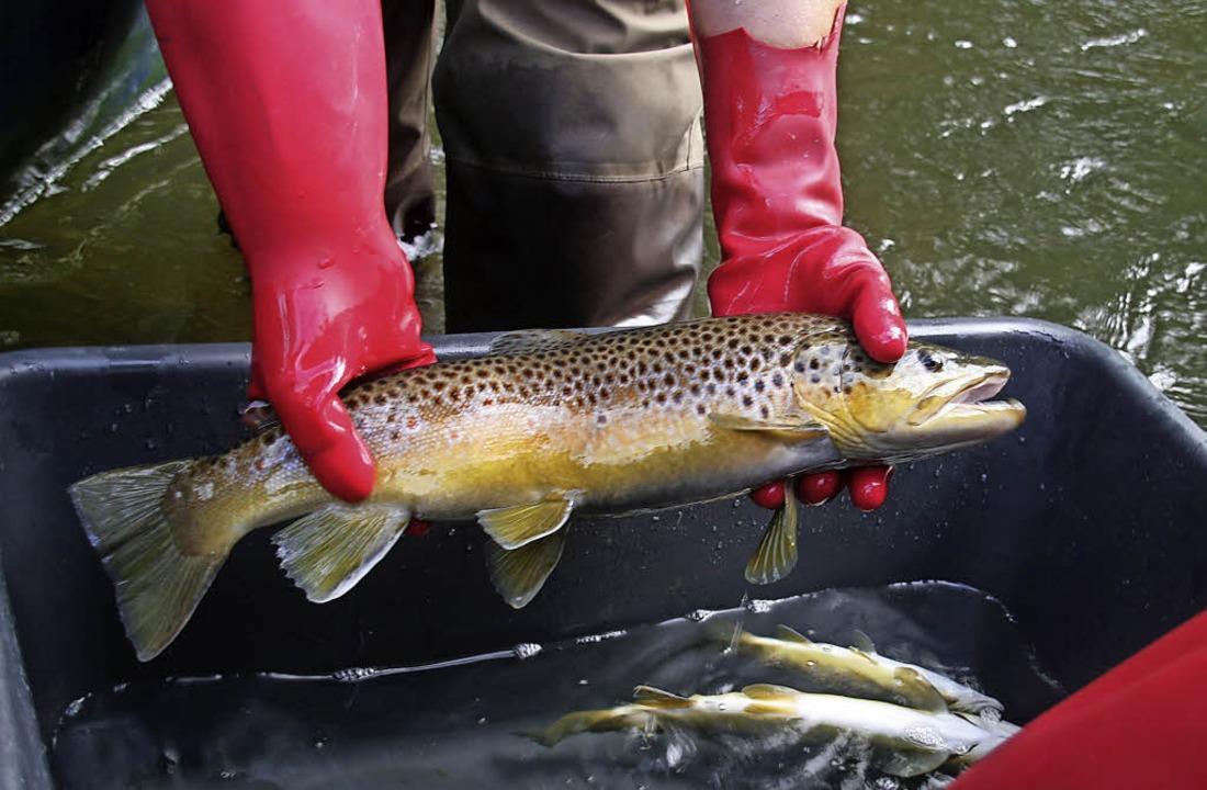 Durch das Elektrofischen werden die Ba...eder in die Wutach  entlassen wurde.      Foto: Fischerverband Oberes Wutachtal.