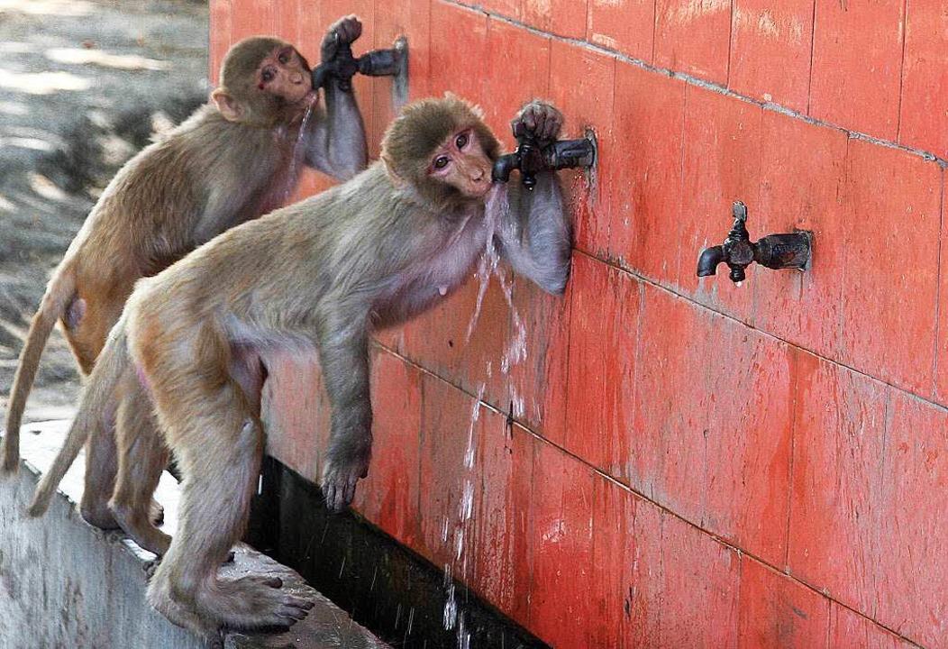Affen trinken aus einem Wasserhahn im indischen Kaschmir  | Foto: dpa