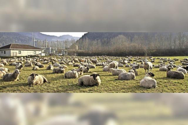 Rastplatz für Schafe auf der Durchreise