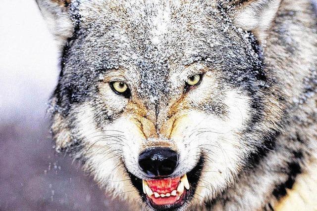 Wolf soll Jogger am Daumen verletzt haben
