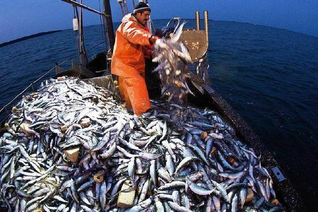 Warum Fische in Aquakulturen mit Wildfängen gefüttert werden