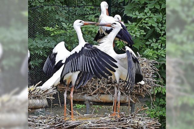 20 Prozent der Störche geben den Zugvogelstatus auf