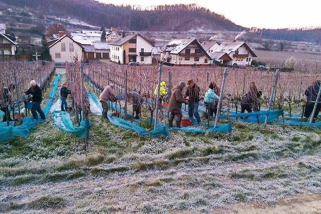 WG Achkarren erntet zwei Eisweine am Schlossberg