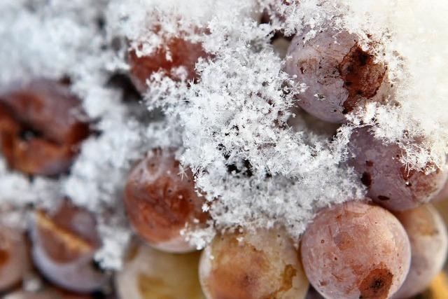 Erster starker Frost ermöglicht Eiswein-Lese in der Ortenau