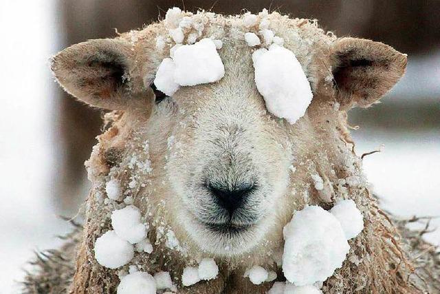 Veterinäramt greift ein: Witterung war zu kalt für Lämmer