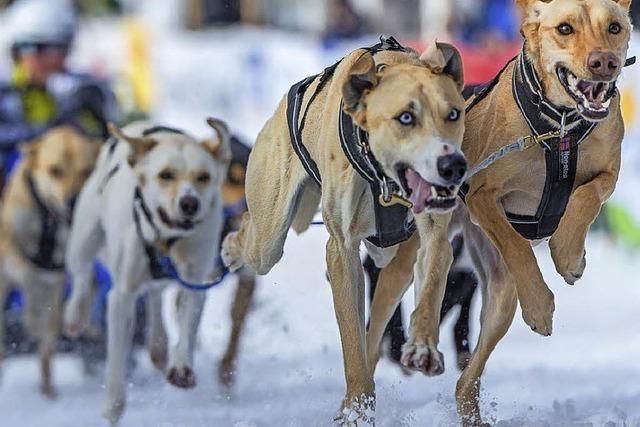 Am Wochenende findet das Schlittenhunderennen in Todtmoos statt