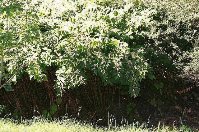 Kampf gegen eingeschleppte Pflanzen