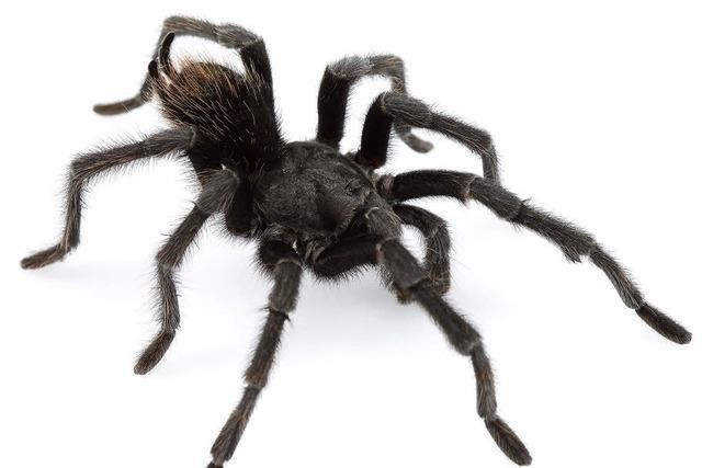 Eine Spinne wie Johnny Cash