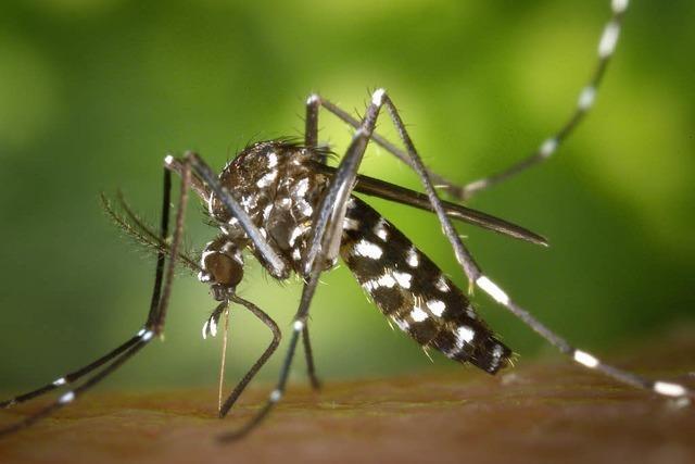Einer der Zika-Überträger kommt auch in Baden vor