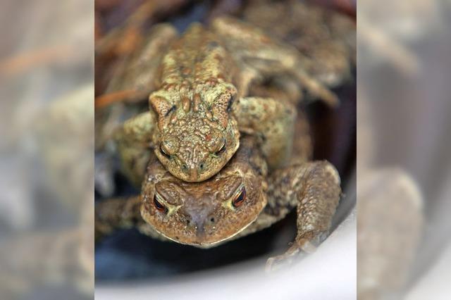 Gefährliche Wanderschaft für Amphibien