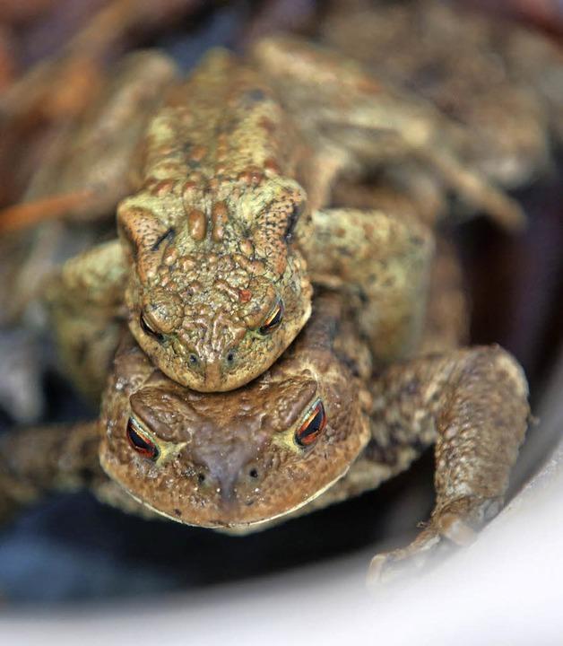 Ein Erdkröten-Pärchen im rettenden Eimer   | Foto: dpa