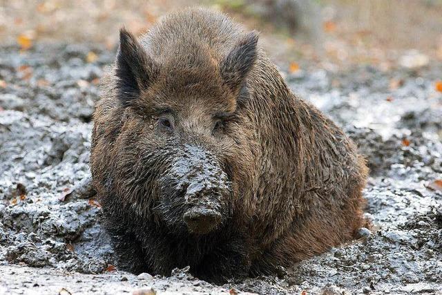 Milder Winter sorgt im Hotzenwald für Wildschweinplage