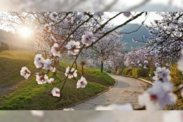 Mandelblüte und Weinstraße