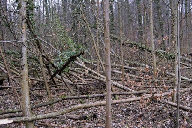 Eschensterben schreitet rasant voran