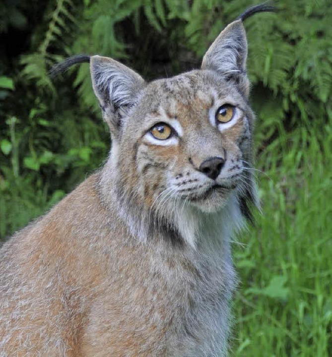 Inzwischen gibt es wieder Luchse im Schwarzwald. Der hier aber wohnt im Zoo.   | Foto: Veranstalter