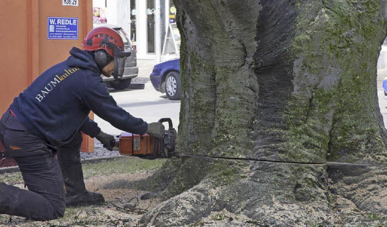Der letzte Akt: Mit einer großen Motor...im Innern des Baumes ausgebreitet hat.  | Foto: Volker Münch